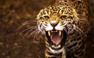 Angry-Jaguar